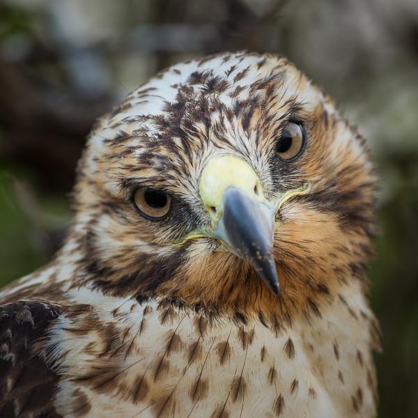Galapagos Hawk_John Hoffman.jpg