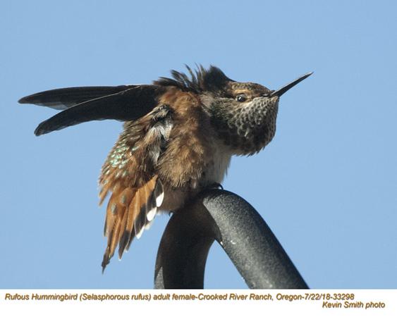 Rufous Hummingbird F33298.jpg