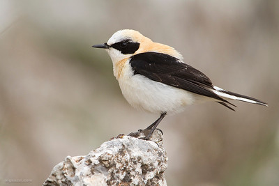 Black-eared Wheatear (Collalba rubia)