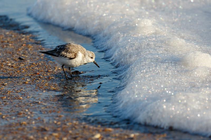 Sanderling Hunting in the Sea Foam-1205.jpg