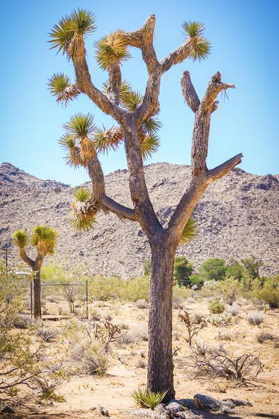 Joshua Tree -070616-383.jpg