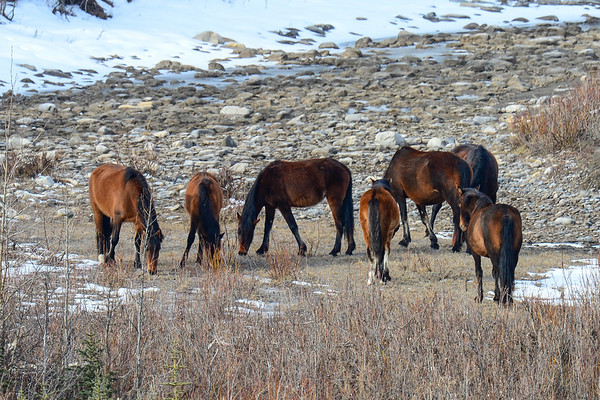 4 2013 Apr 24 Alberta Wild Horses & Babies