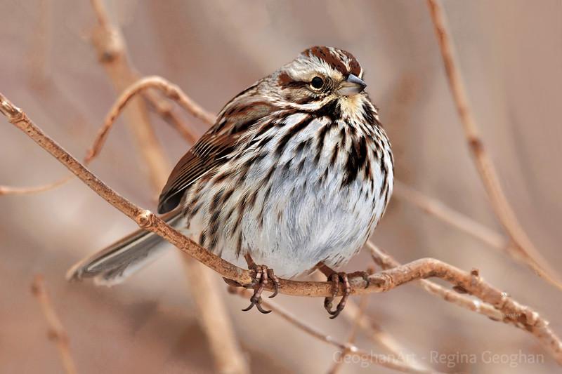 Song Sparrow in Winter Marsh