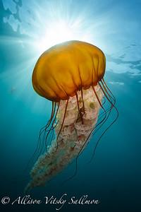 California: pelagic invertebrates
