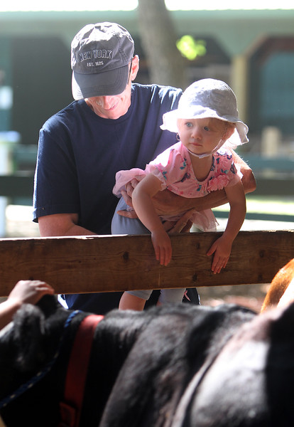 Middlesex County 4-H Fair. Robert Bruce of Dracut, and his granddaughter Callie Bruce, 20 months old, of Lowell, look at the cows. (SUN/Julia Malakie)
