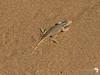 shovel snouted lizard