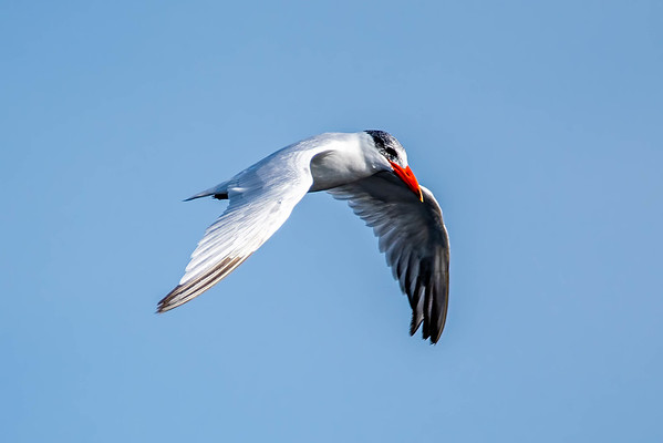 Gulls, Turns & Skimmers