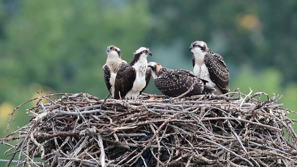8-8-16 Video Osprey Nest #2