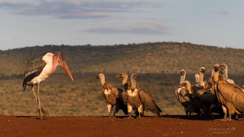 Marabou Stork & White-backed Vulture, Zimanga, South Africa, May 2017-2.jpg
