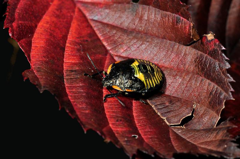Stink Bug (nymph) - D0117