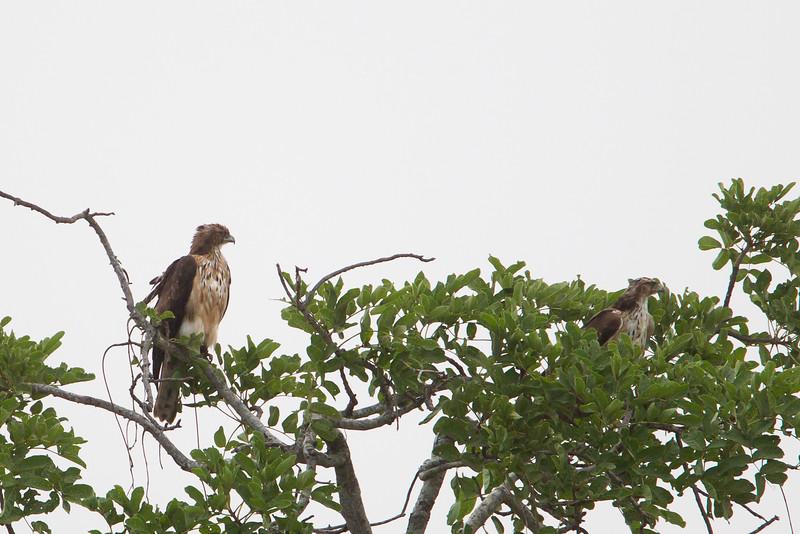 Mountain Buzzard - Record - Tarangire National Park, Tanzania