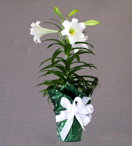 20110418 ABVM Easter Lilllies DSC_9376.jpg