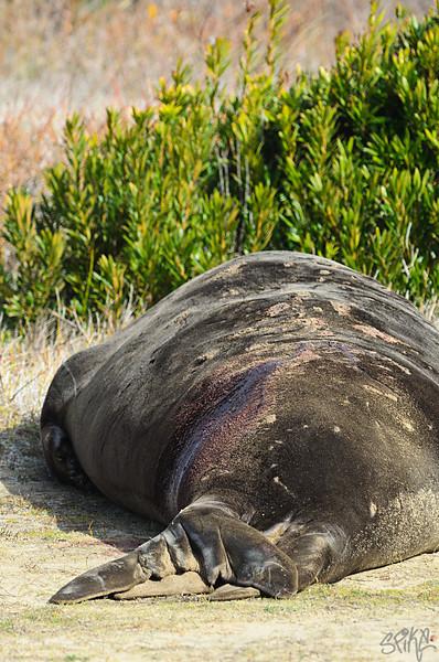 Elephan Seal Birth