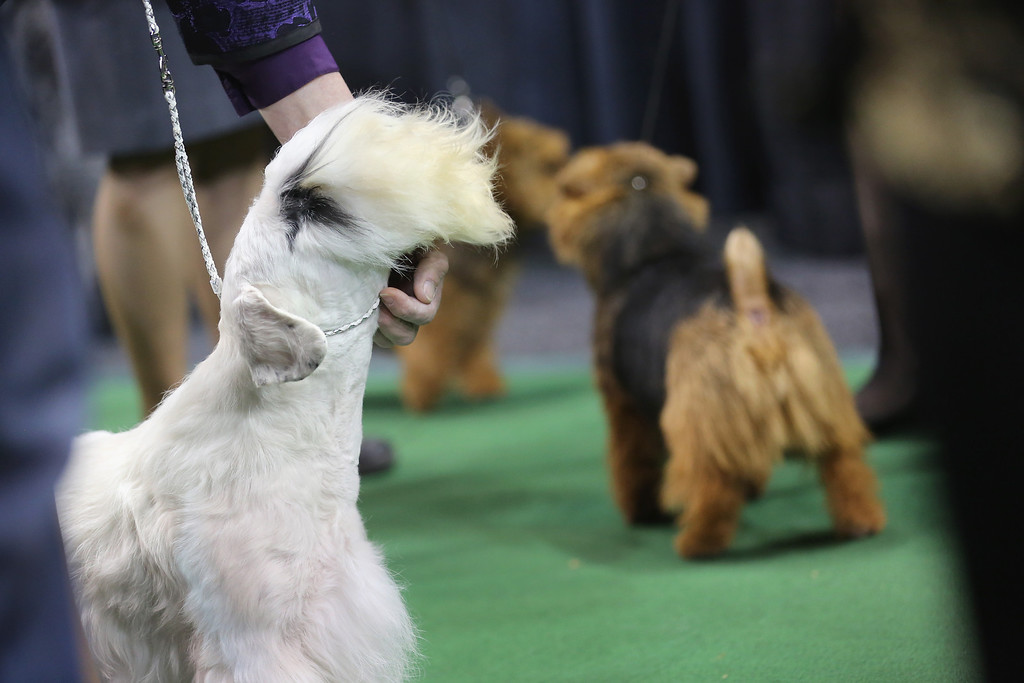 . NEW YORK, NY - FEBRUARY 12:  Terriers prepare to compete at the 137th Westminster Kennel Club Dog Show on February 12, 2013 in New York City. Best of breed dogs competed for Best in Show at Madison Square Garden Tuesday night. A total of 2,721 dogs from 187 breeds and varieties competed in the event, hailed by organizers as the second oldest sporting competition in America, after the Kentucky Derby.  (Photo by John Moore/Getty Images)
