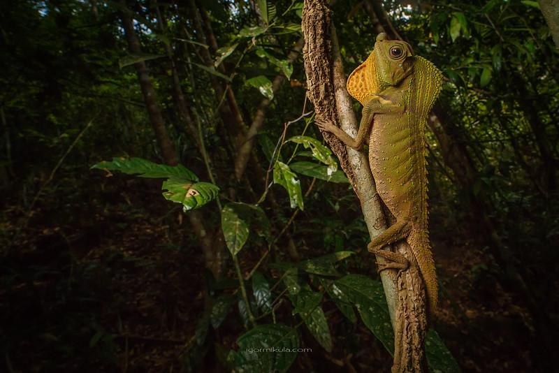 Hump-nosed lizard (Lyriocephalus scutatus )