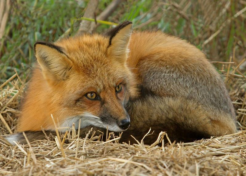 Little Red Fox