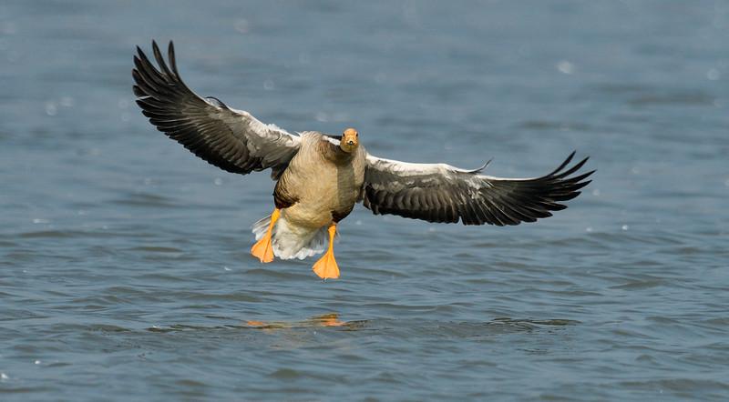 Bar-headed-goose-landing-magadi.jpg