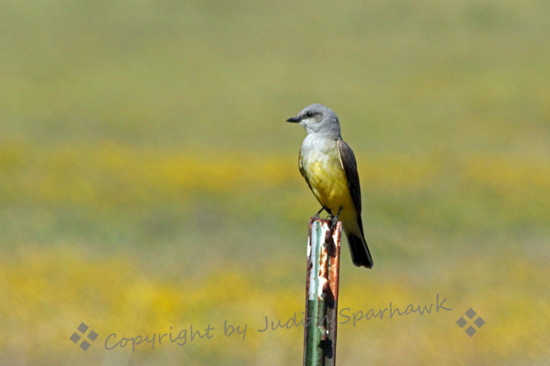 They'e Baaacckk! ~ The Western Kingbirds are back, having migrated into Southern California, where many will spend the spring and summer.  His perch isn't so pretty, but he was, with a background of wild mustard and two other yellow wildflowers.