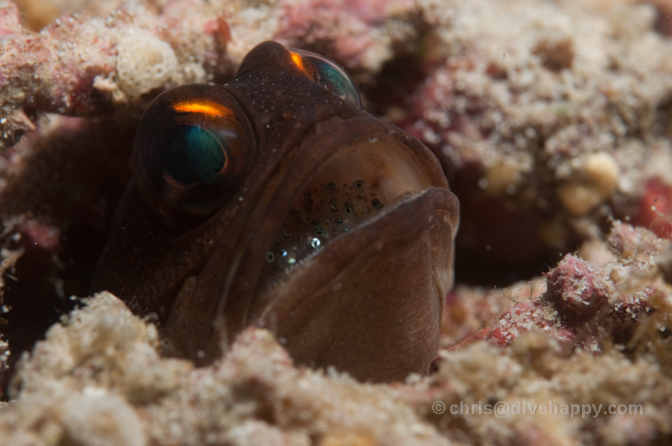 Jawfish with eggs in its mouth - you can see the eyes of the babies if you look closely © Chris Mitchell