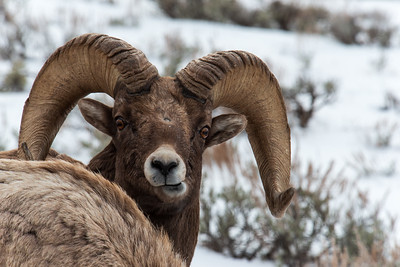 Big Horn Sheep and Mtn Goats
