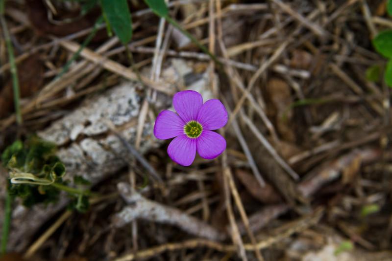 Oxalis violacea - Violet Wood Sorrel