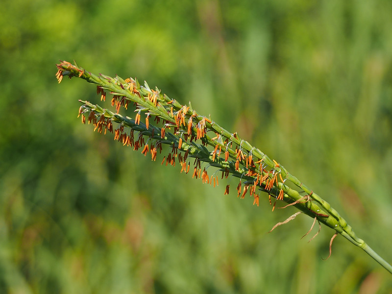 Gama Grass