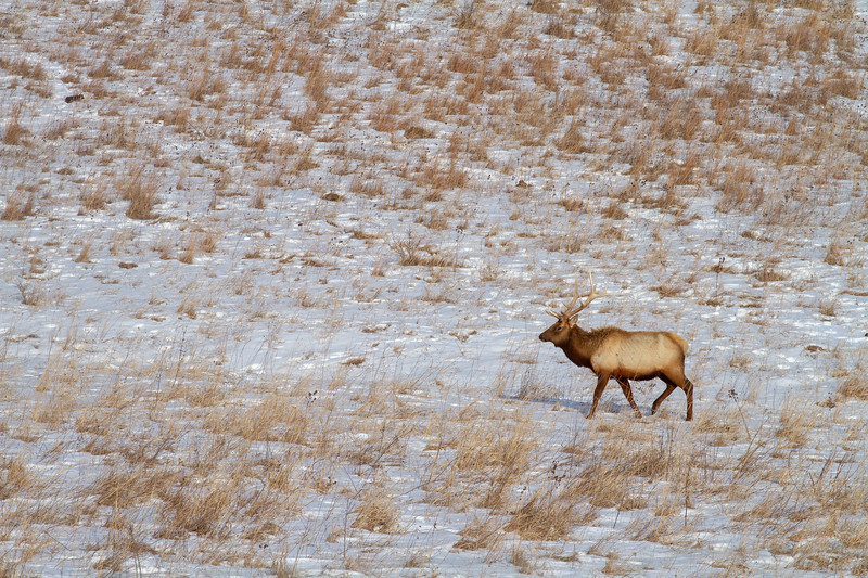 Elk bull Neal Smith National Wildlife Refuge NWR Prairie City IA  IMG_2226.jpg