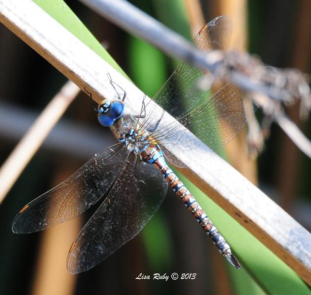 Dragon-fly - 10/12/13 - Whelan Lake