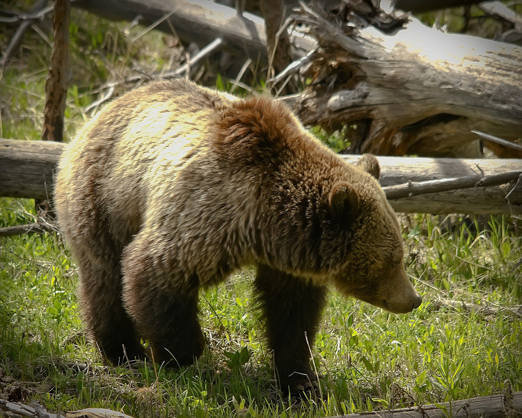 Grizzly Sow, Dunraven 2_1.jpg