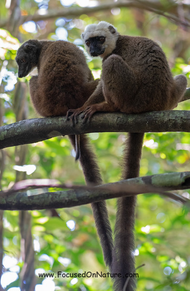 White-fronted Brown Lemur Pair