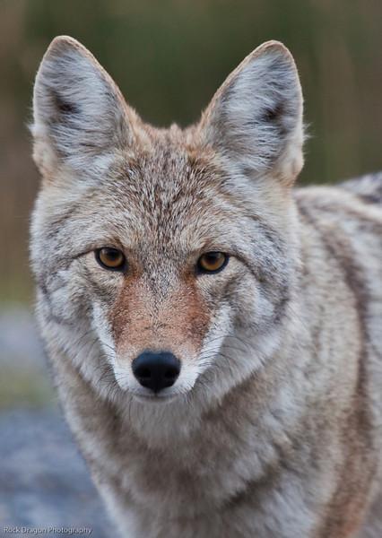 Coyote, Kananaskis Country, Alberta