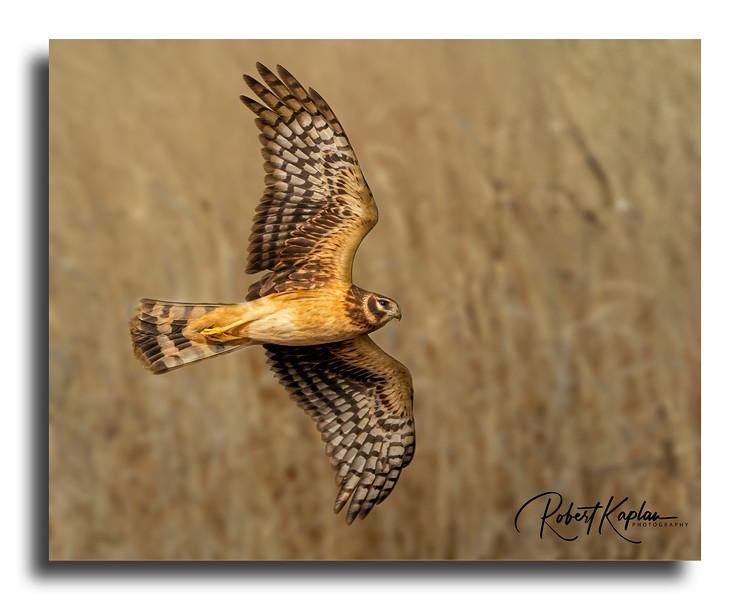 Northern Harrier Denoised_1875-Framed Grassland Background.jpg
