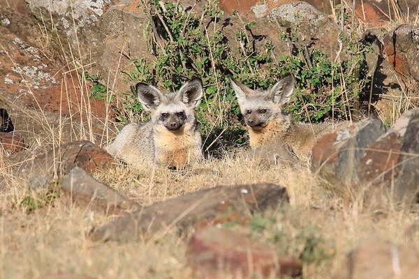 BatEared Fox Mara Kenya 2018