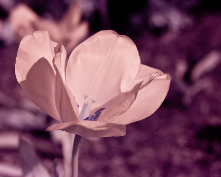 An abstract infrared photograph of a tulip flower.