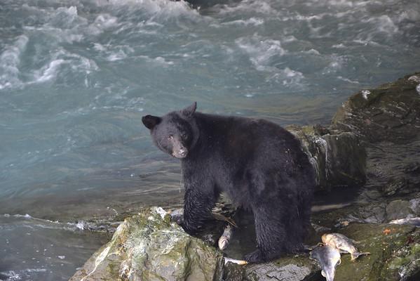 Valdez, os negre - oso negro