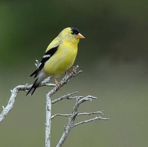 Finches, Blackbirds, Orioles & More