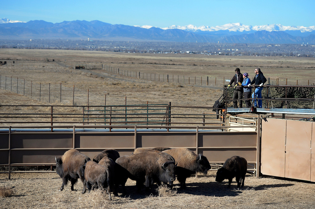 . Staff members watch over the corral during the annual bison roundup at the Rocky Mountain Arsenal National Wildlife Refuge in Commerce City, CO December 17, 2013. (Photo By Craig F. Walker / The Denver Post)