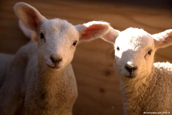 Sheep - Set 3