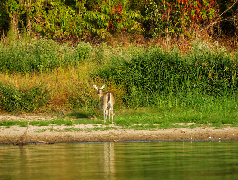 Doe on the shore of Lake Fork - Texas