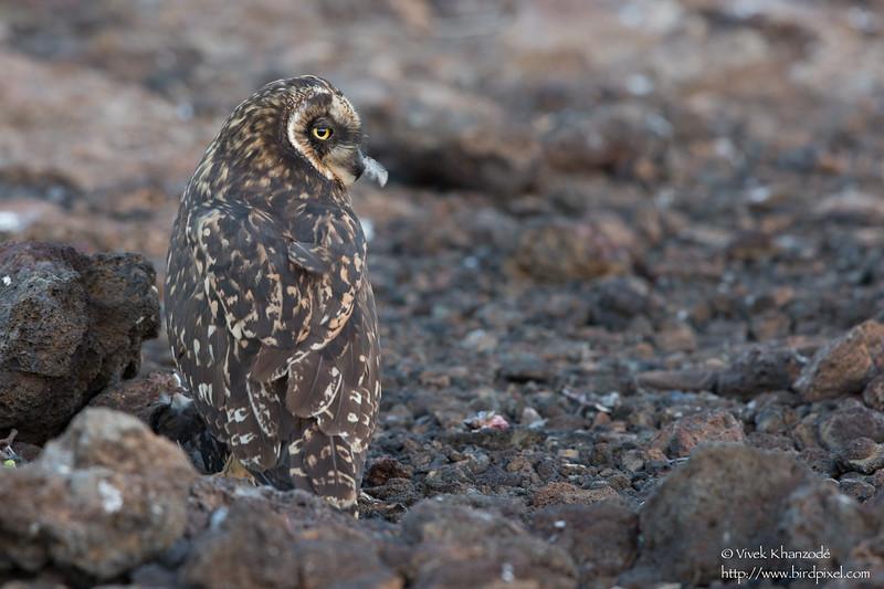 Short-eared Owl - Prince Phillip's Steps, Isla Genovesa, Galapagos, Ecuador