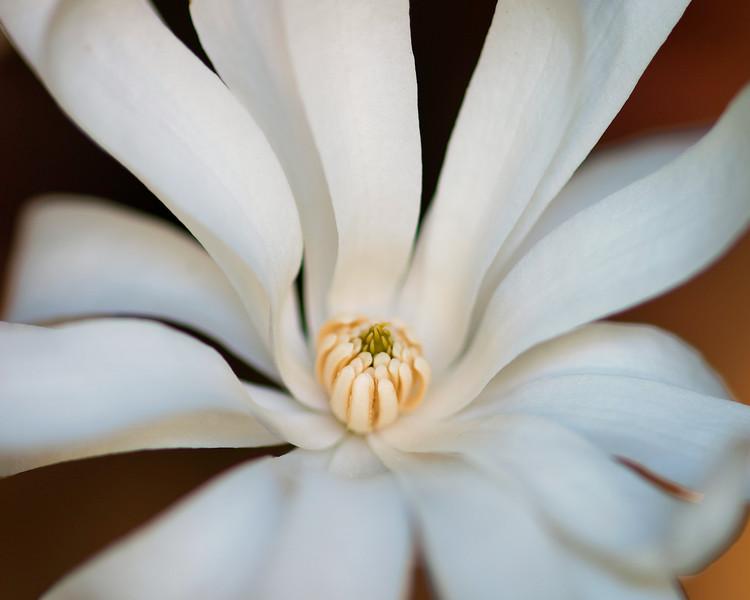 star-magnolia.jpg