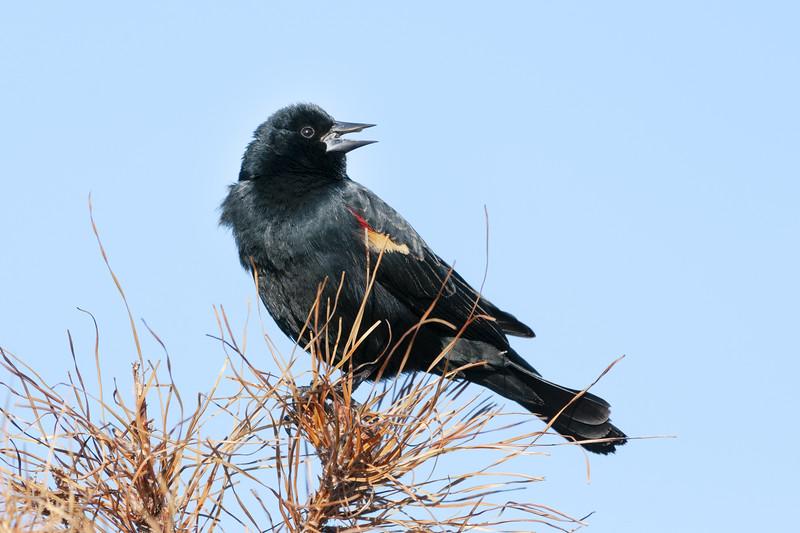 Red-Winged Blackbird Male Two.jpg
