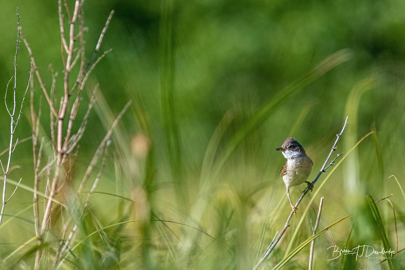 Whitethroat at Woods Mill