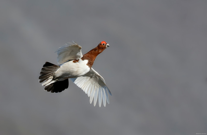 Willow Ptarmigan in flight