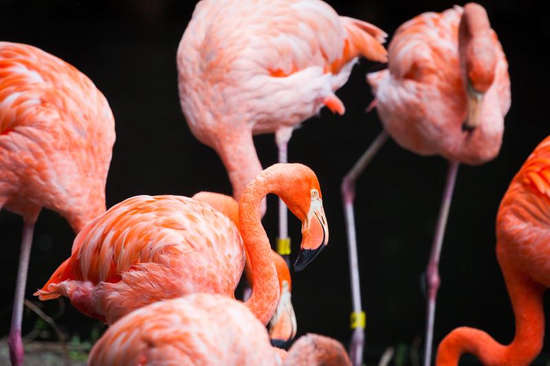 Flamingo_BronxZoo_20170930.jpg