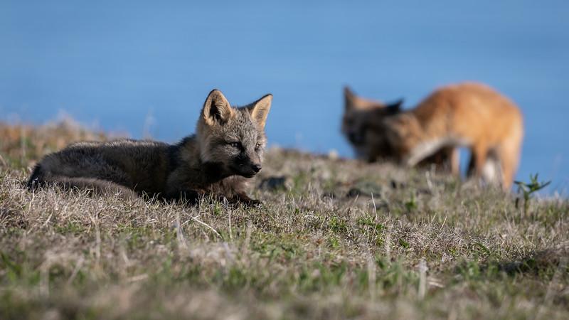3 fox kits in sunlight -3617.jpg
