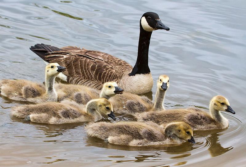 geese-and-goslings_8708333302_o.jpg