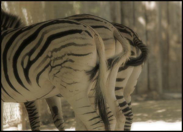 A-Tale-of-Three-Zebras.jpg