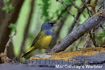 MacGilllvray's Warbler, Malheur National Wildlife Refuge