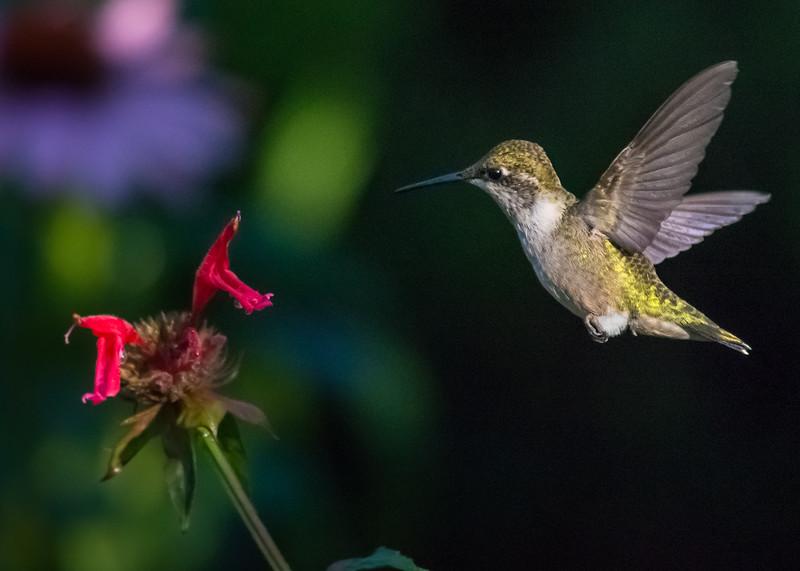 hummingbird 6 july 21 2016 (1 of 1).jpg